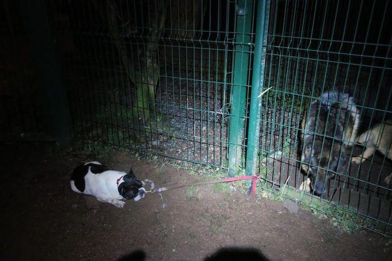 De Franse buldog werd vastgebonden aan de omheining van het asiel, net naast de waakhond. Het hondje probeerde zo ver mogelijk van de Duitse herder vandaan te blijven en was compleet uitgeput.