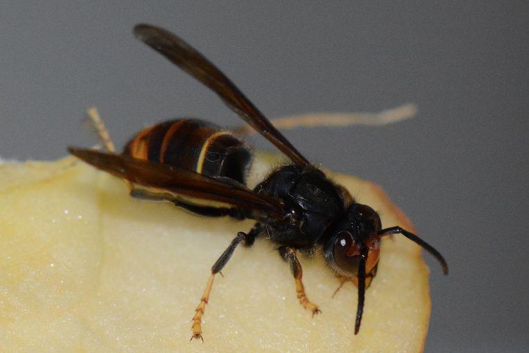 Een Aziatische hoornaar in Gistel.