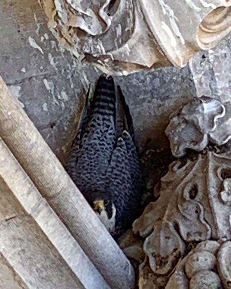 Torenwachter Nick Vanhaute kon een foto maken van de broedende valk. Hoeveel eitjes er liggen, is niet bekend.