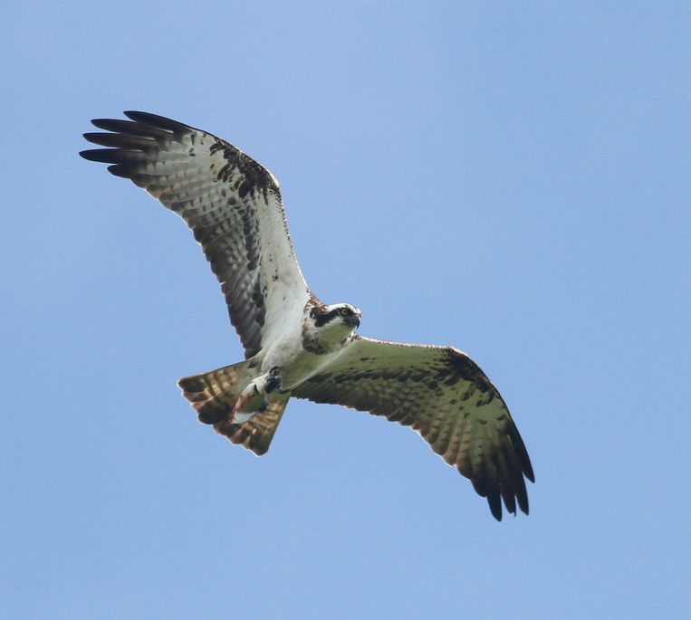 Een visarend. De roofvogel kan een spanwijdte van zo'n 1,5 meter bereiken. Beeld Thomas van der Es
