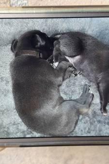 Baasje verdronken puppy's in Heesch gaat uit van wraakactie: 'Ik word al maanden lastiggevallen'