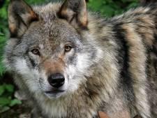 De wolf lijkt terug in Nederland