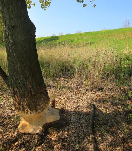 Er zitten duizend bevers in Rivierengebied, maar er is nog geen acuut risico voor de dijken