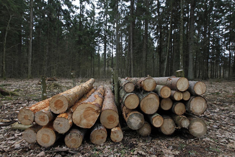 Bomen in Brandenburgse bossen in Duitsland bezwijken langzaam maar zeker onder boomschorskever.