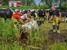 Koe uit sloot gered in Giethoorn