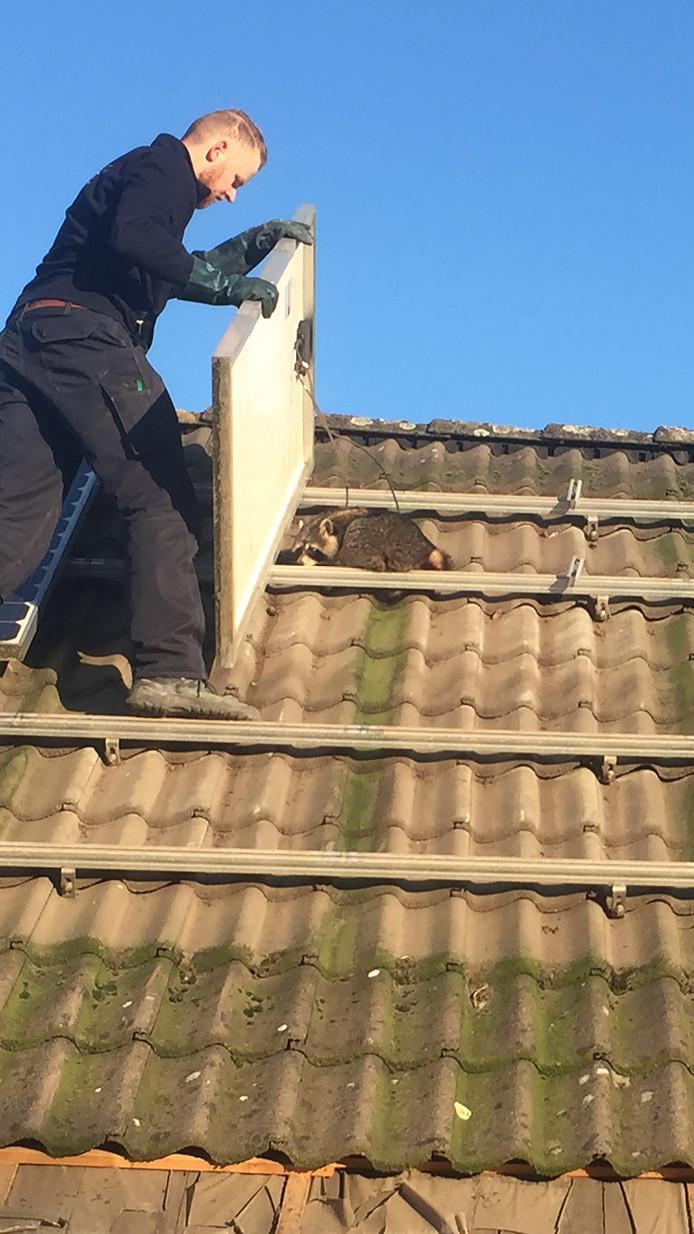 De elektricien die de zonnepanelen van Harry Hendriks uit Nijmegen loshaalde, vond daaronder een wasbeer.