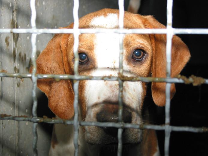Beagle-honden worden voor dierproeven gebruikt. Deze hond zat bij proefdierfokker Harlan in Duitsland.