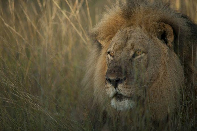 Jericho, de broer van de doodgeschoten leeuw Cecil.