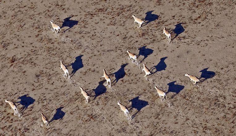 Antilopen rennen over de steppe van Kazachstan. Beeld afp