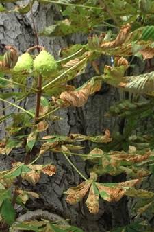 Nu al bruine blaadjes: mineermot zorgt voor vroegtijdig herfstgevoel