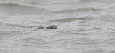 Mol in Noordwaard verrast boswachter: 'Ik heb er nog nooit één zien zwemmen'