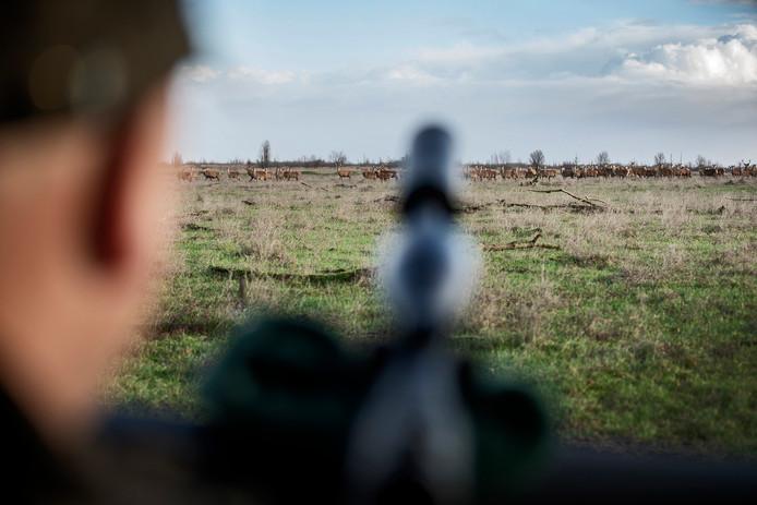 Een boswachter van Staatsbosbeheer mikt zijn geweer op een groep herten in de Oostvaardersplassen.