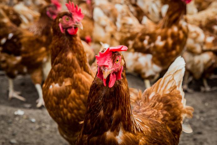 Een biologische kippenboerderij.