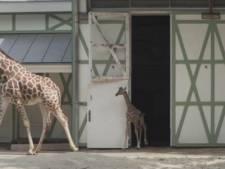 Pasgeboren giraffe in Artis zet eerste stapjes buiten