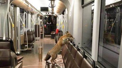 De vos is terug, zelfs in de stad: moeten we ons zorgen maken?