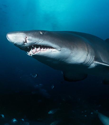 Un plongeur se fait mordre par un requin et nage jusqu'à la plage