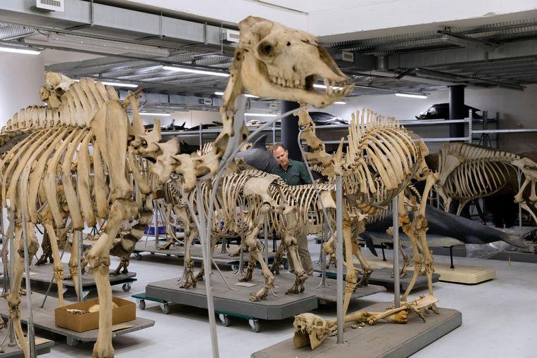 Grote skeletten zijn uit de kast gehaald. Beeld Inge Van Mill