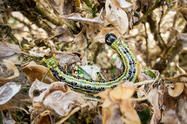 De buxusrups is te herkennen aan zijn groene kleur met donkere strepen op de zijkant.