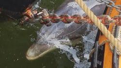 Dolfijn volgt Frans vrachtschip en zwemt recht in de Amsterdamse haven