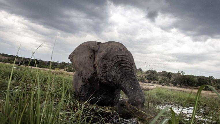 Een olifant in de wateren van de Chobe rivier in het Botswana Chobe Nationaal Park. Beeld anp