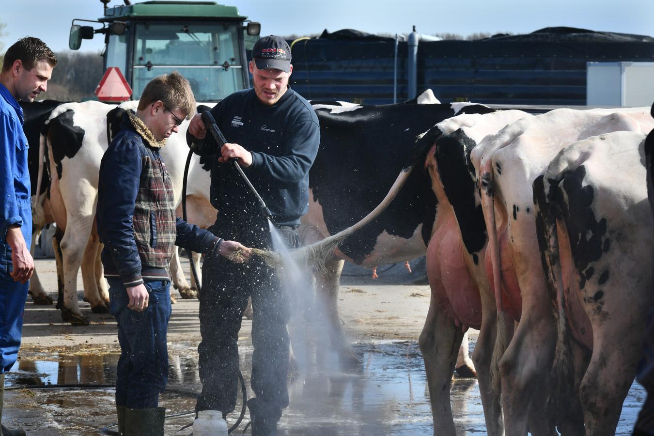 De koeien worden gewassen.