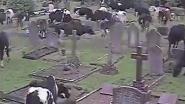 VIDEO: 400 koeien richten ravage aan op kerkhof