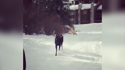 VIDEO. Eland jaagt op groepje skiërs in Colorado
