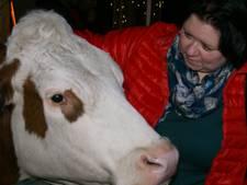 Diessense boerenkerstdagen waar de koe gekoesterd wordt
