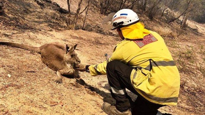 Deze verzwakte kangoeroe werd bevrijd door een brandweerman.