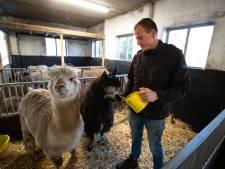 Vriend én vriendinnetje voor de eenzame alpaca Jaap in Kampen
