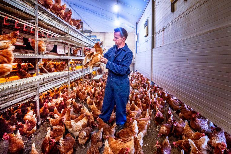 Martijn van Veldhuizen tussen zijn kippen op zijn biologische boerderij in Lunteren. Beeld  Foto Raymond Rutting / de Volkskrant