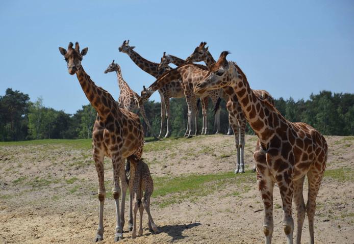 Giraf geboren in safaripark Beekse Bergen.