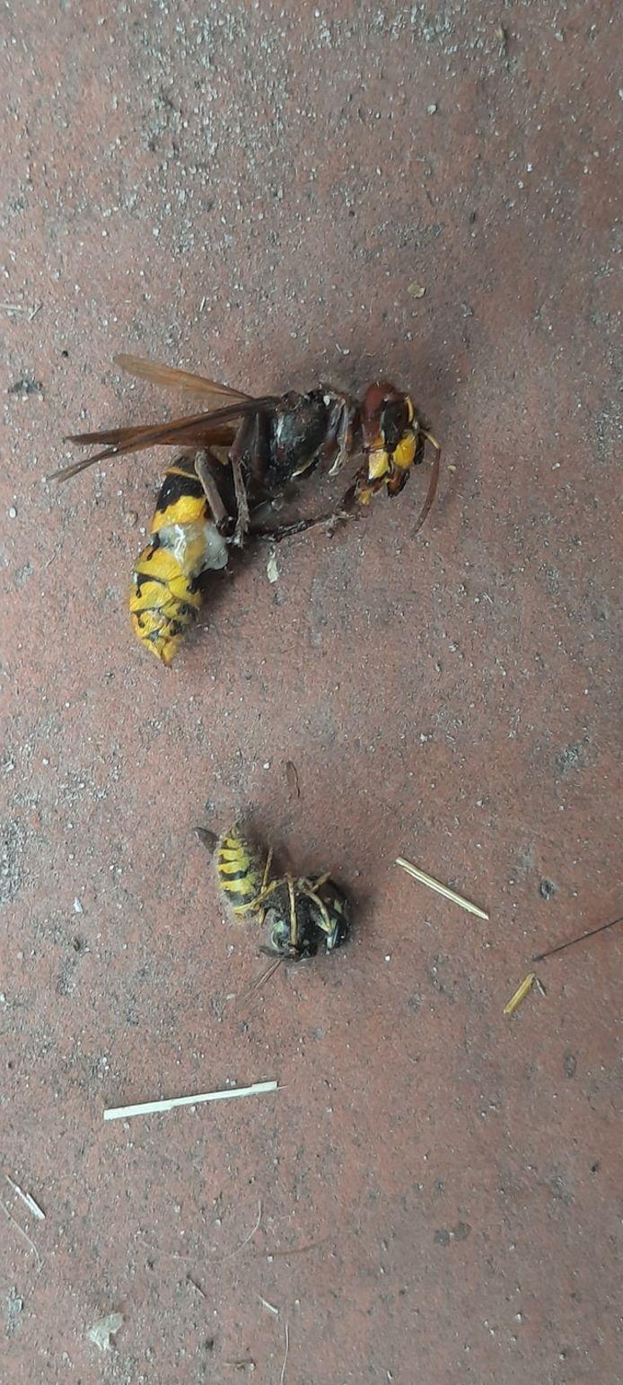 Europese hoornaar (boven) en limonadewesp.