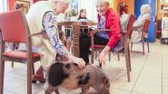 Nieuw: Gust, het rusthuisvarken (en er komt ook een tweede)