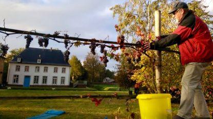 Stek van oudste wijnstok ter wereld levert bij eerste oogst 15 liter druivensap
