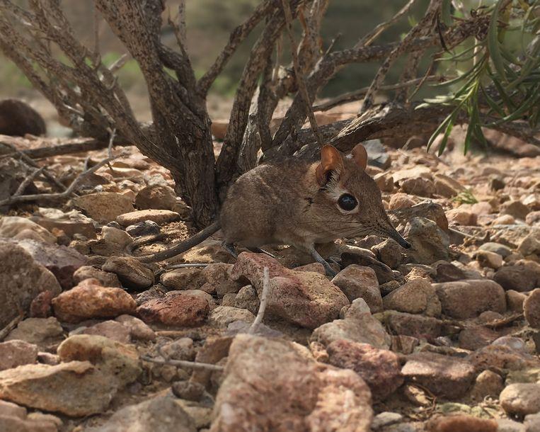 De Somali sengi oftewel de olifantsspitsmuis is na meer dan vijftig jaar vermist, teruggevonden in Djibouti.   Beeld AFP