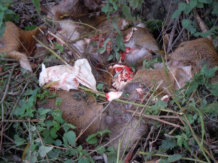 Ook de vacht van de dieren bleef liggen, vlees en koppen waren nergens te vinden