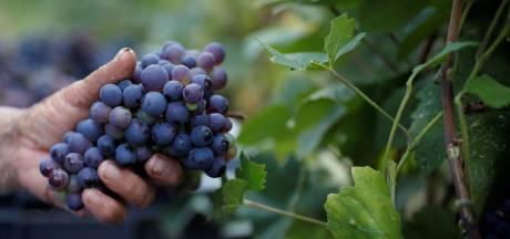 Franse wijnboeren plukken steeds vroeger druiven