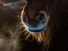 Paard overleden na aanrijding in Kedichem, automobilist rijdt door