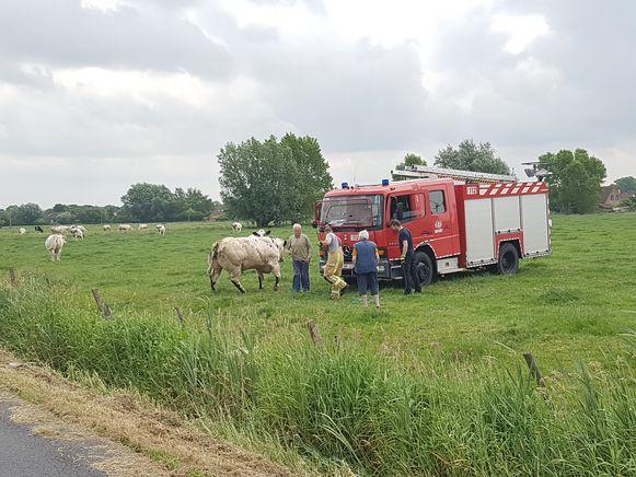 De stier bleef er vrij rustig onder en ging daarna terug tussen zijn koeien staan.