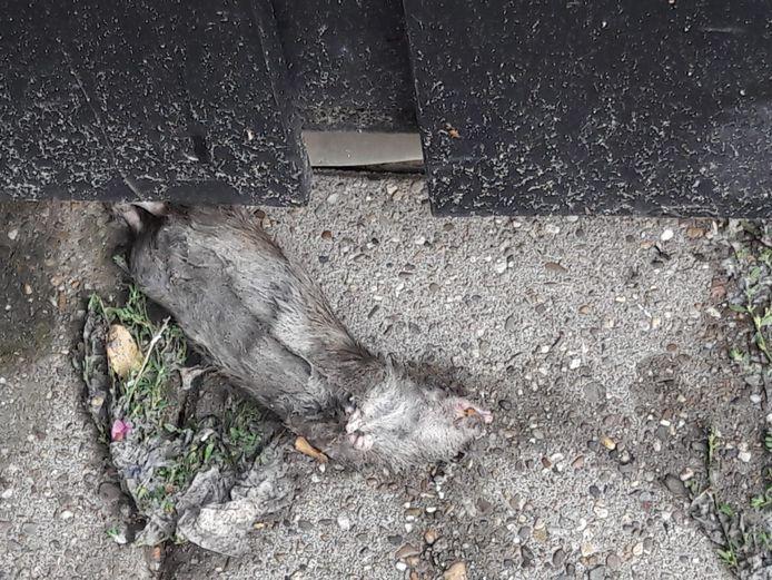 Er werden zelfs dode ratten gevonden na de overstroming van maandagnacht.