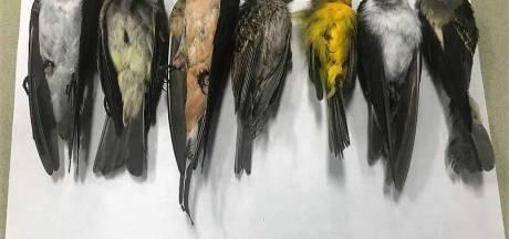 Vogels die omvliegen voor bosbranden vallen dood uit de lucht in VS