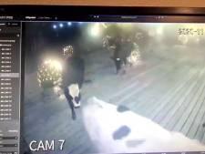Koeien ontsnappen uit weiland en vermaken zich op terras Kameryck