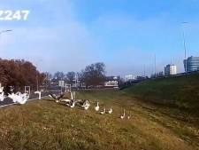Dierenambulance Zwolle houdt ganzen regelmatig van A28