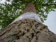 Breda verwijdert folie op bomen: helpt niet tegen processierups, maakt overlast alleen maar erger