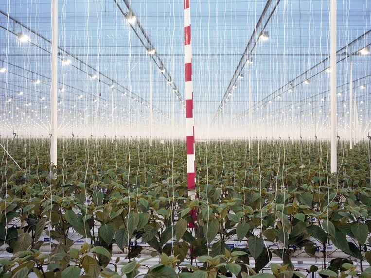 Paprikakwekerij De Wieringermeer in Middenmeer. Beeld Henk Wildschut