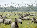 Provincie Flevoland stemt in met minder grote grazers in Oostvaardersplassen