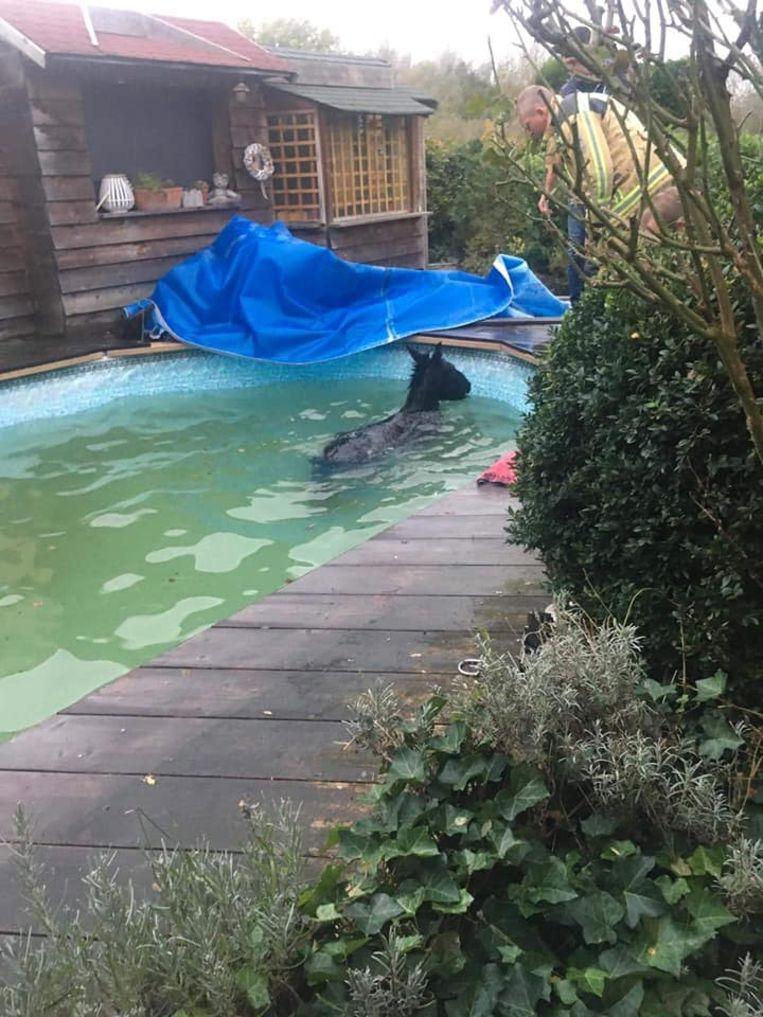 De brandweer kon ezel Castard uit het zwembad bevrijden