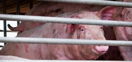 Aangifte tegen varkensslachterij wegens onverdoofd verdrinken van dieren