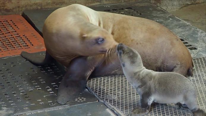 Het zeeleeuwtje dat 18 juni werd geboren in safaripark Beekse Bergen heeft het niet gered.